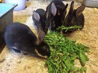 Baby female Rex rabbit
