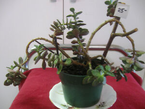 YOUNG LUSH WELL-SHAPED JADE TREE HOUSE PLANT