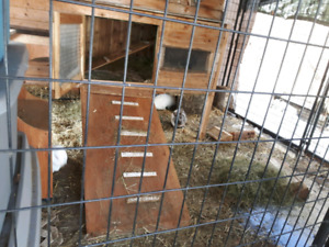 Two tiered cedar bunny hutch and 3 female bunnies for sale