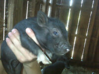 Mini Piglets Looking For Loving Homes