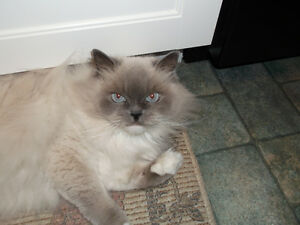 Himalayan Cat for older couple or single lady