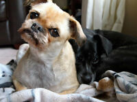 Looking for a forever home for two small 11 year old dogs