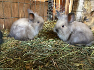 Fuzzy lop bunnies ready to go!