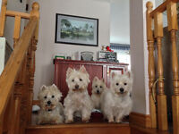 Rehoming Westies - West Highland White Terrier /mix, we can find