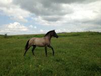 2 year Old Mare Gruella in color registered Quarter Horse
