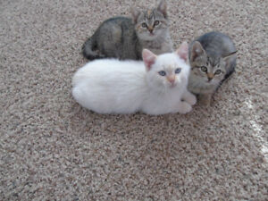 Adorable Kittens! (Tabby kittens SOLD)