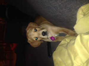Lab mix pup for sale