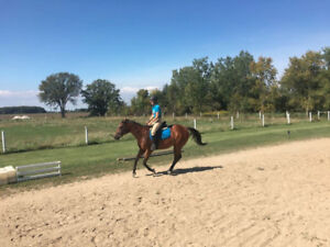7yr Old TB Mare, Lesson Horse Potential