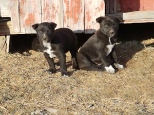 Border collie x Hanging tree pups for sale.