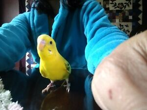Lost Yellow Budgie