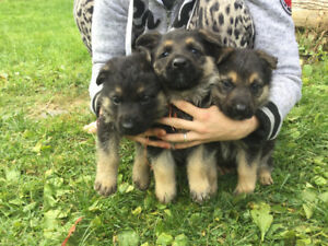 Stunning Purebred German Shepard puppies for sale!