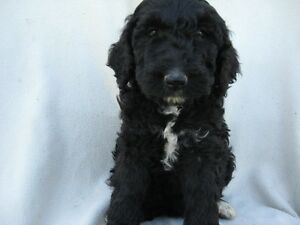 BERNEDOODLE PUPS READY FOR A NEW HOME Kitchener / Waterloo Kitchener Area image 2
