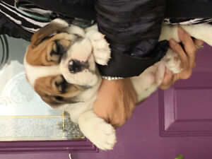 Champion bred English bulldog puppies