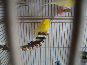 Pair of Fancy Canaries plus Carry cage
