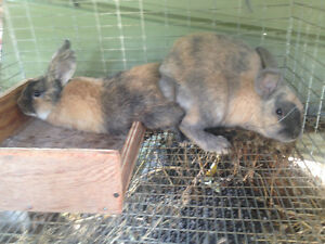 Must go!! Giant Flemish meat rabbits London Ontario image 2