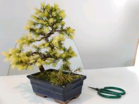 Bonsai spruce