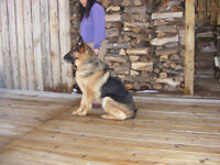 CKC Registered German Shepherd Puppies