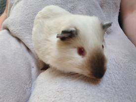 Lovely white male guinea pig.
