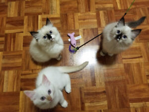 Adorable ragdoll kittens ready for rehoming. Only one left.