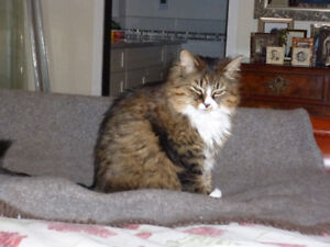 Lost Beautiful Female grey, brown, white Tabby Cat