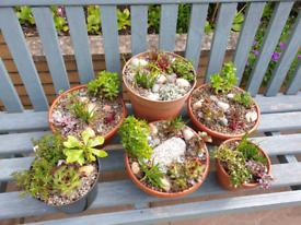 Sedum and alpine planted bowls