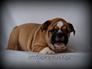 Top Quality Reg'd CH English and French Bulldog Pups London Ontario image 3