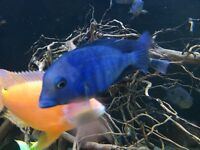 Malawi dolphin for sale cichlid African
