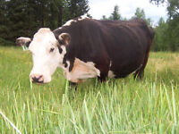 BRED Hereford/Angus COW with bull CALF at side