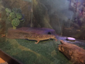 Leopard Gecko and all accessories