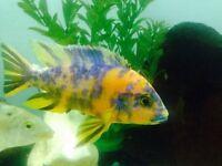 Fish cichlid malawi 2.5 inch -- £5 each