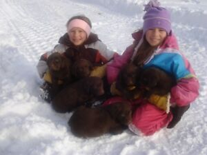 READY NOW ,BEAUTIFUL, QUALITY . PUREBRED CHOCOLATE LAB PUPPIES