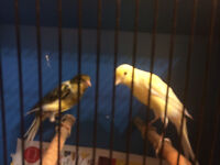 Scatch fancy canaries for sale