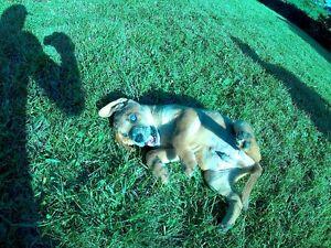 Rottweiller,Husky,Labrador. 9 chiots aux yeux bleu
