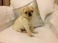KC Registered Cream Female Pug