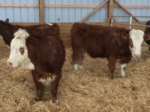 Fleckvieh Heifers For Sale
