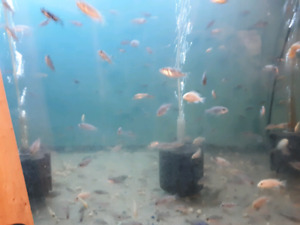 Lots of African cichlids for sale
