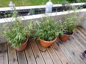 Established bamboo plant, £10 each