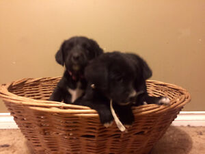 Labernese puppies