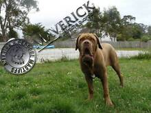 MASTIFF,PUPS St Helens Break ODay Area Preview