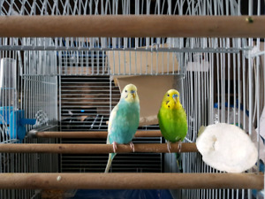 Female and Male budgies for sale