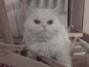 Pure Persian female (not fixed, excellent for breeding)
