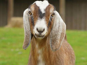 Looking for any type of Goat for Not for Profit Farm