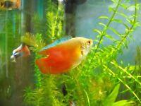 Red Gourami -- £5 a Pair