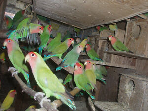 LOVEBIRDS FOR SALE BABIES (READY TO HAND FEE) London Ontario image 5