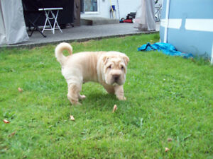 CKC REGISTERED CHINESE SHAR - PEI PUPPIES *  PLENTY OF WRINKLES