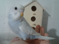 SUPER FRIENDLY HAND RAISED BABY BUDGIES & TAMED
