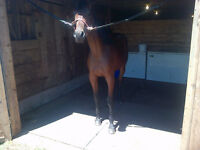 Standardbred Yearling Filly For Sale