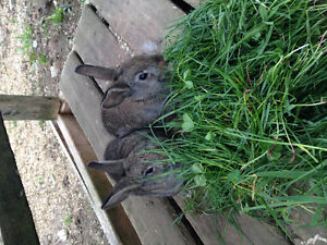 Baby bunnies to give away