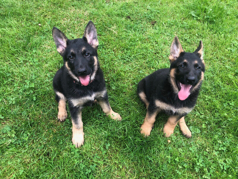 Buy German Shepherd Puppies | Dogs & Puppies for sale in Germany
