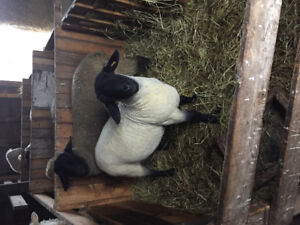 Rams For Sale